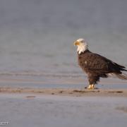Bald Eagle 1503