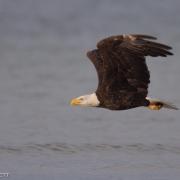 Bald Eagle 1517