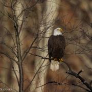 Bald Eagle 2994