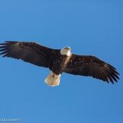 Bald Eagle 8708