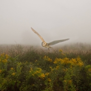 Barn Owl Montage
