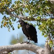 Black-Vulture-0170-2