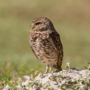 Burrowing Owl 3326