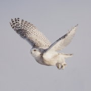 Snowy Owl in Flight IMG_9727