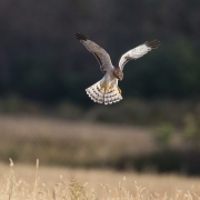 Northern Harrier 0395