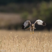 Northern Harrier 0399