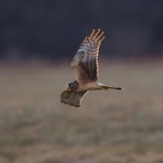 Northern Harrier 7426