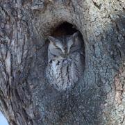 Screech Owl-12