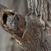 Screech Owl-14