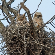 Great Horned Owl and Chick-15