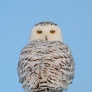 Snow Owl-2
