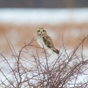 Short Eared Owl-20