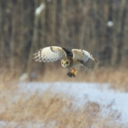 Short Eared Owl-21