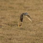 Short Eared Owl-22