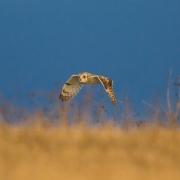 Short Eared Owl-23