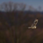 Short Eared Owl-24