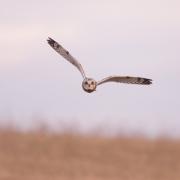 Short Eared Owl-25