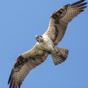 Owls&BOP-26