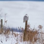 Snowy Owl-3