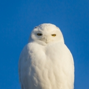 Male Snowy Owl 5