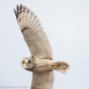Short Eared Owl Q54A1153
