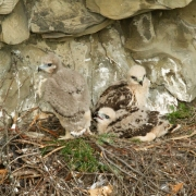 Red-Tail-Chicks-3014