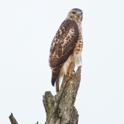 Red Tailed Hawk 8773