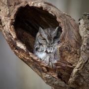Screech Owl 2709