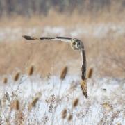 Short Eared Owl 0357
