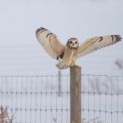 Short Eared Owl 0476