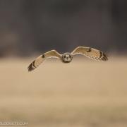 Short Eared Owl 8382