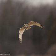 Short Eared Owl 8387