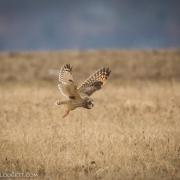 Short Eared Owl 8448