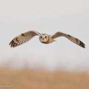 Short Eared Owl 9713