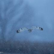 Short Eared Owl 9812