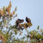 Turkey-Vulture-8686
