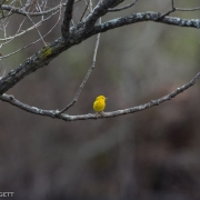 Yellow Warbler _54A1168