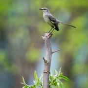 Mocking Bird 54A2790