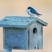 Tree Swallow, VA 170
