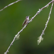 Black Chinned Hummer 0054