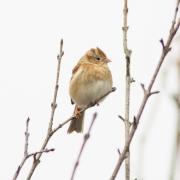 Fox Sparrow 9942