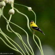 Gold Finch & Scapes 2975