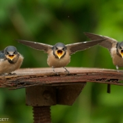 Barn Swallow Chick IMG_1923
