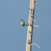 Mountain Bluebird 5440