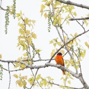 Oriole in Cottonwood  2136