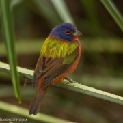 Painted Bunting 4137