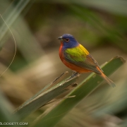 Painted Bunting 4161
