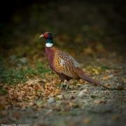 Pheasant 0282