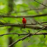 Scarlet Tanager Q54A1635