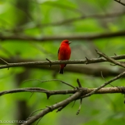 Scarlet Tanager Q54A1641